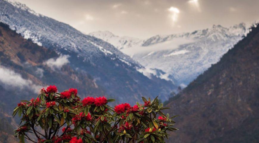 RHODODENDRON in bhutan