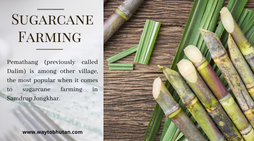 Sugarcane Farming in Samdrup Jongkhar